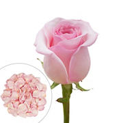 Roses and Petals Combo Box, 75/2,000 pk. - Light Pink