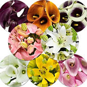 Mini Callas and Asiatic Lilies Combo Box, 50/30 ct. - Assorted