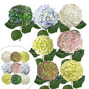 Celebration Hydrangea Combo Box, 26 Stems - Assorted