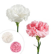 Carnation Wedding Assortment, 100/100 - White, Light Pink