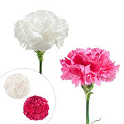 Carnation Wedding Assortment, 100/100 Stems - White, Hot Pink