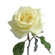 White Garden Roses, 36 Stems