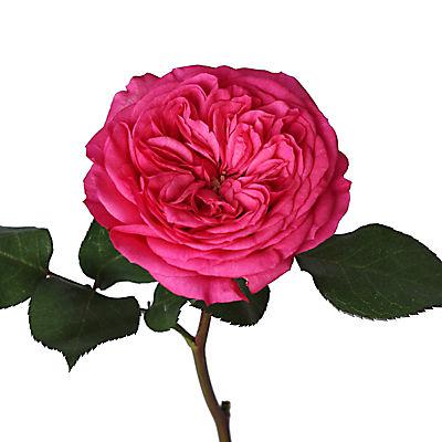 Hot Pink Garden Roses, 36 Stems