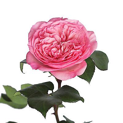 Pink Garden Roses, 36 Stems