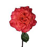 Orange Garden Roses, 36 Stems