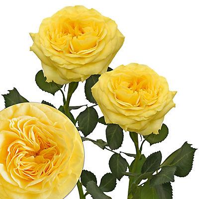 Yellow Garden Roses, 36 Stems