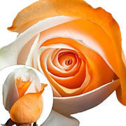 Orange and White Tinted Roses, 50 Stems