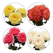 Assorted Color Garden Roses, 50 Stems