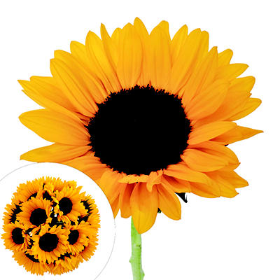 Yellow Sunflowers, 80 stems