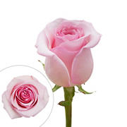 Rainforest Alliance Certified Roses, 100 Stems - Light Pink