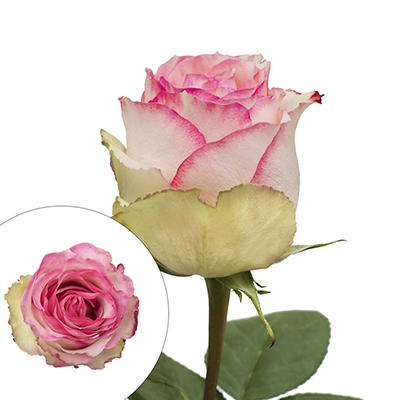 Rainforest Alliance Certified Bicolor Roses, 100 Stems - White/Pink