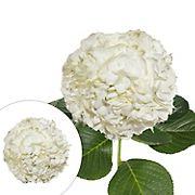 Hydrangeas, 30 Stems - White