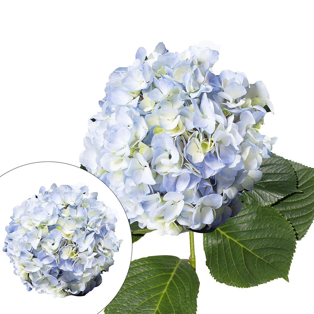Hydrangeas 30 Stems Blue Bjs Wholesale Club