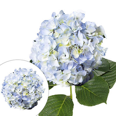 Jumbo Hydrangeas, 12 Stems - Blue