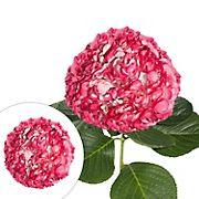 Hand-Painted Hydrangeas, 26 Stems - Pink