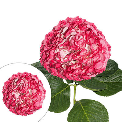Hand-Painted Hydrangeas, 26 Stems - Pink