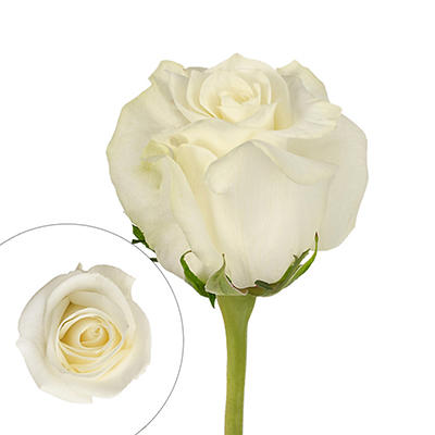 Rainforest Alliance Certified Roses, 125 Stems - White