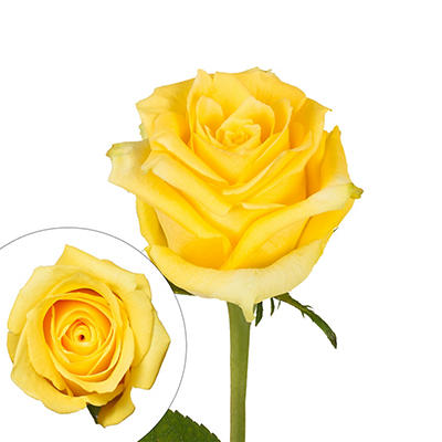 Rainforest Alliance Certified Roses, 125 Stems - Yellow