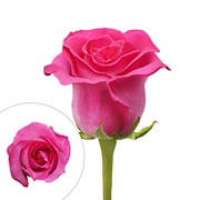 Rainforest Alliance Certified Roses, 125 Stems - Hot Pink