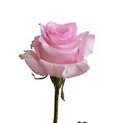 Rainforest Alliance Certified Roses, 125 Stems - Light Pink