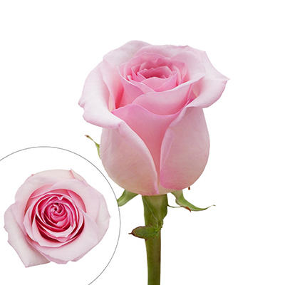 Rainforest Alliance Certified Roses, 125 Stems - Light Pink