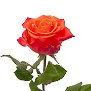 Rainforest Alliance Certified Roses, 125 Stems - Orange