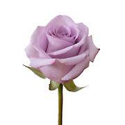 Rainforest Alliance Certified Roses, 125 Stems - Lavender